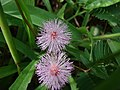 Starr-061109-1516-Mimosa pudica-flowers-Kokomo Rd Haiku-Maui (24842559876).jpg