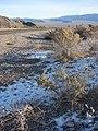 Starr-071223-0400-Atriplex canescens-habit with snow-Lee Canyon Rd-Nevada (31145156110).jpg
