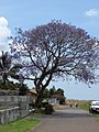 Starr-090417-6159-Jacaranda mimosifolia-flowering habit-Pukalani-Maui (24952216705).jpg
