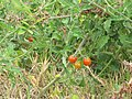 Starr-090707-2301-Solanum lycopersicum-fruit-Waikapu-Maui (24942538836).jpg
