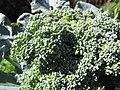 Starr-091108-9387-Brassica oleracea var botrytis-broccoli florets-Olinda-Maui (24962924176).jpg