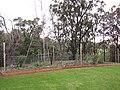 Starr-110217-1535-Solanum muricatum-habit and vegetable garden-Olinda-Maui (25076472505).jpg