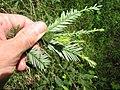 Starr-110307-2366-Sequoia sempervirens-needles-Kula Botanical Garden-Maui (24709232979).jpg