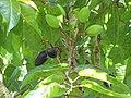 Starr-110330-4035-Canarium ovatum-fruit and leaves-Garden of Eden Keanae-Maui (25054796076).jpg