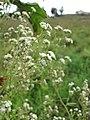 Starr-110503-5483-Parthenium hysterophorus-flowers-Kula-Maui (24799219120).jpg