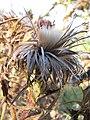 Starr-110727-7937-Cirsium vulgare-seedhead-Polipoli-Maui (25101921225).jpg