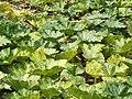 Starr-131002-2371-Cucurbita moschata-leaves-Hawea Pl Olinda-Maui (24931667990).jpg
