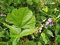 Starr-131002-2402-Pachyrhizus erosus-leaves and flowers-Hawea Pl Olinda-Maui (25109092262).jpg