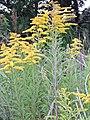 Starr-140930-2077-Solidago canadensis-flowers and leaves-Keokea-Maui (25246818265).jpg