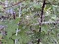 Starr 001117-0055 Rubus niveus f. a.jpg