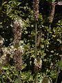Starr 030603-0048 Plantago lanceolata.jpg