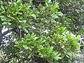 Starr 031204-0005 Cupaniopsis anacardioides.jpg
