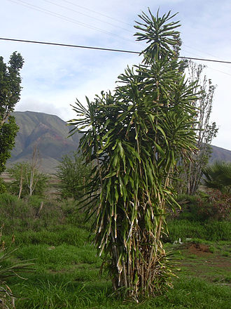 Dracaena fragrans - Cultivated plant in Hawaii