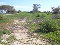 Starr 040125-0071 Casuarina equisetifolia.jpg