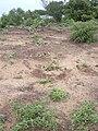 Starr 040323-0068 Solanum nelsonii.jpg