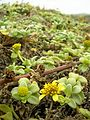 Starr 050519-1772 Melanthera integrifolia.jpg