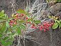 Starr 050815-7397 Rubus argutus.jpg