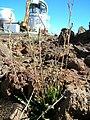 Starr 051202-5574 Oenothera stricta subsp. stricta.jpg