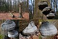 Start April these Fomes fomentarius (Tinder fungus or Ice man fungus, D= Zunderschwamm, F= Amadouvier, NL= Echte tonderzwam) produce lots of white spores. Altough they are already old they still produce next generation - panoramio.jpg