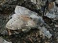 Stauropus fagi - Lobster moth - Вилохвост буковый (41093981242).jpg