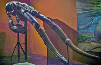 Stegomastodon - Skull of S. waringi