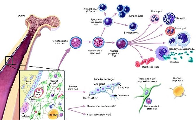 English: Pathway of stem cell differentiation