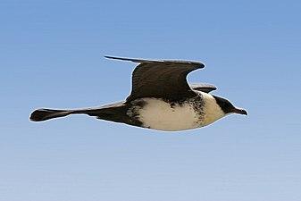 Stercorarius pomarinus off Mauritania 1.jpg