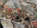 Stonecrop Sedum obtusatum.jpg