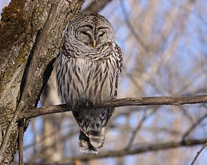 barred owlstrix varia essay This owl is most often seen by those who seek it out in its dark retreat, usually a thick grove of trees in lowland forest there it rests quietly during the day.