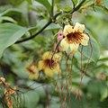 Strophanthus preussii-IMG 6158.jpg