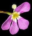 Stylidium sp. fleshy annual - Flickr - Kevin Thiele.jpg