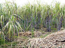 Photo of standing and fallen cane