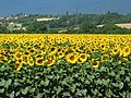 Sunflowers near Dardagny - panoramio.jpg
