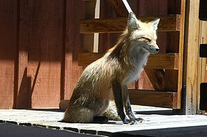 Evergreen, Colorado - A red fox on the porch of an Evergreen home.