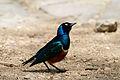 Superb Starling, Serengeti.jpg