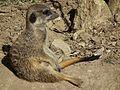 Suricata suricatta sitzend Tiergarten Worms 2011.JPG