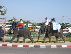 Surin elephants 01.jpg