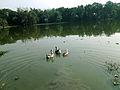 Swan's in pond 2.jpg