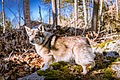 Swedish Vallhund December 2012 008.JPG