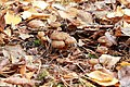Swedish autumn Craterellus tubaeformis 2.jpg