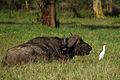 Syncerus caffer in Nakuru.jpg