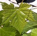 Syrah leaf at Tablas.jpg