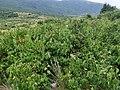 Syringa vulgaris, familija Oleacea 02.jpg