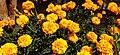 Tagetes-Marigold-Flower 08.jpg