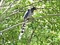 Taiwan Blue Magpie juvenile.jpg