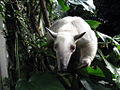 Tamandua tetradactyla -Topeka Zoo, Kansas, USA-8a.jpg