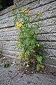 Tanacetum vulgare (28649074316).jpg