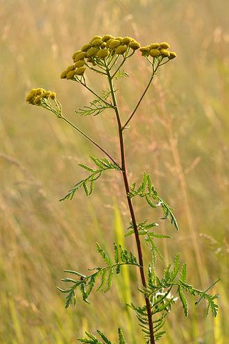 Tansy - Image: Tanacetum vulgare harilik soolikarohi Keilas 2
