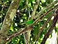 Tangara gyrola -Trinidad-8.jpg
