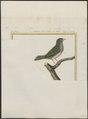 Tangara punctata - 1700-1880 - Print - Iconographia Zoologica - Special Collections University of Amsterdam - UBA01 IZ15900307.tif